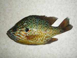 Необычный риб.JPG
